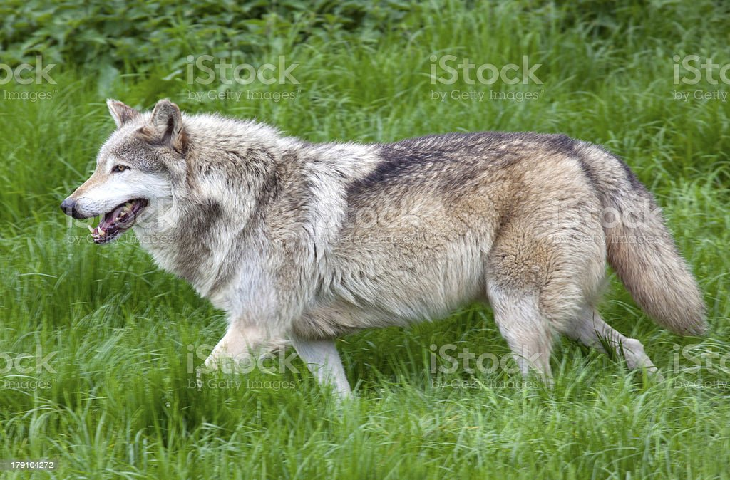 Lone Grey Wolf running royalty-free stock photo