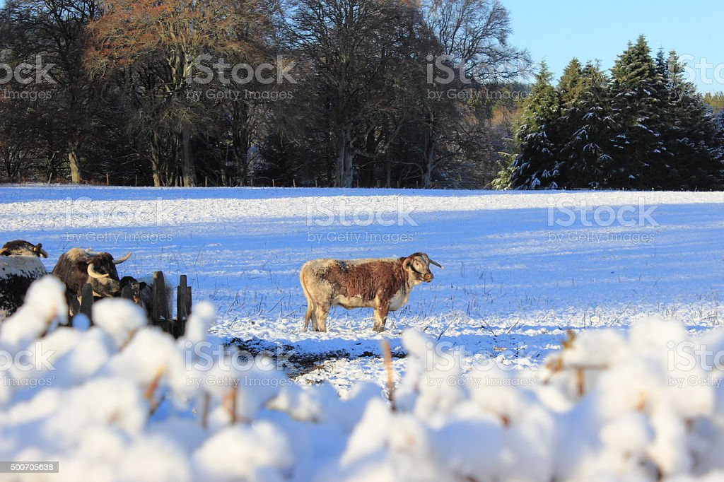 Lone Hardy Horned Cow Away From The Herd In Snow stock photo