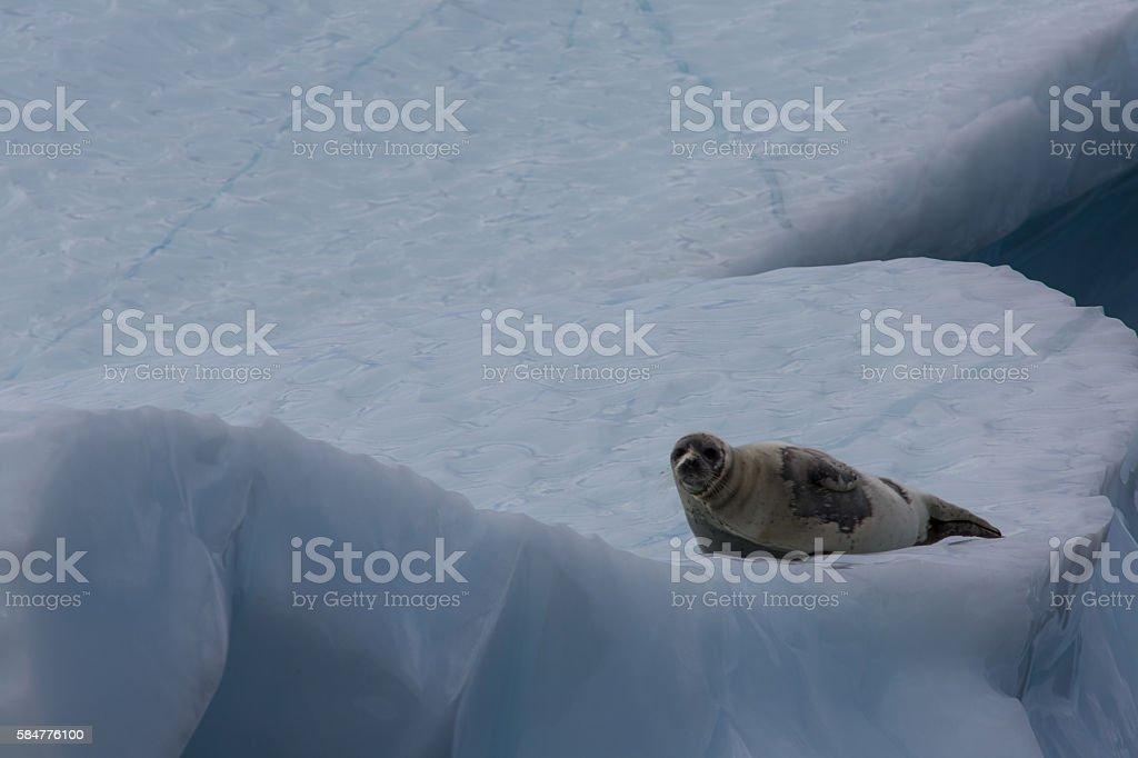Lone harp seal on iceberg in Newfoundland stock photo