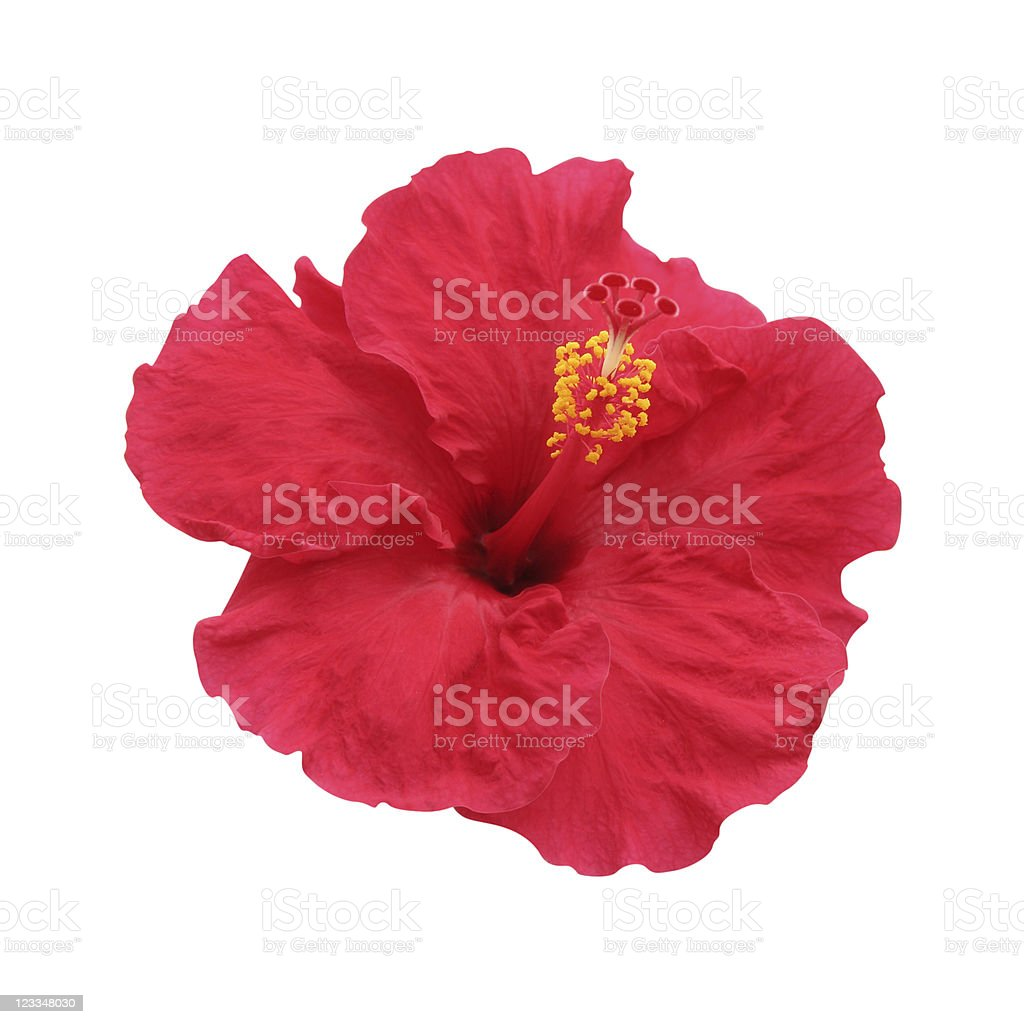 Lone hibiscus flower with yellow stamen on white background stock photo