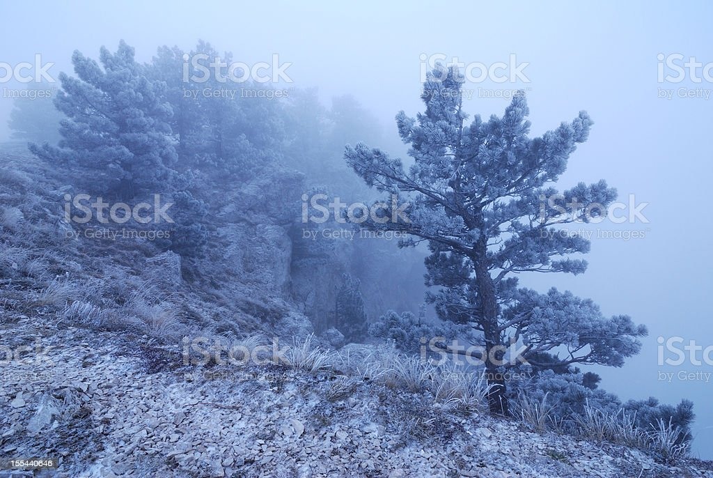 Lone hoarfrosted tree standing in fog stock photo