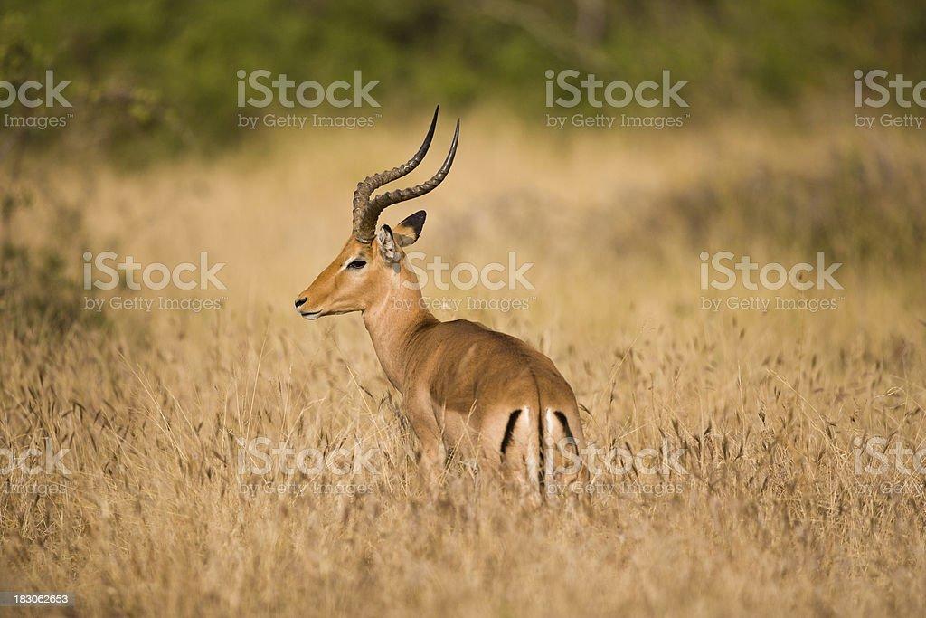 Lone impala stock photo