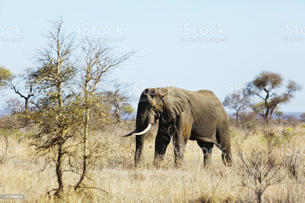 Lone large elephant bull in Kruger National Park royalty-free stock photo