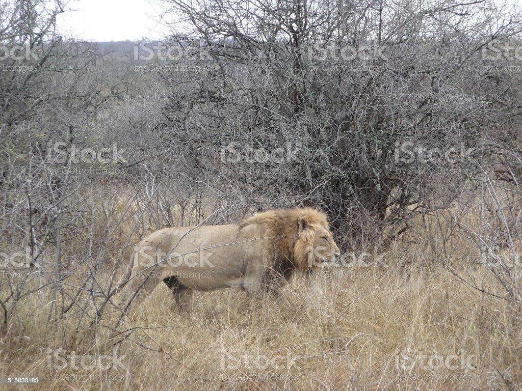 lone lion royalty-free stock photo