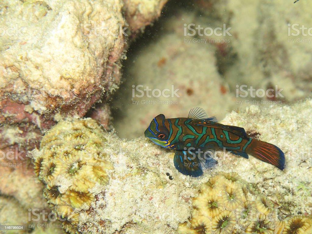 Lone Mandarinfish stock photo