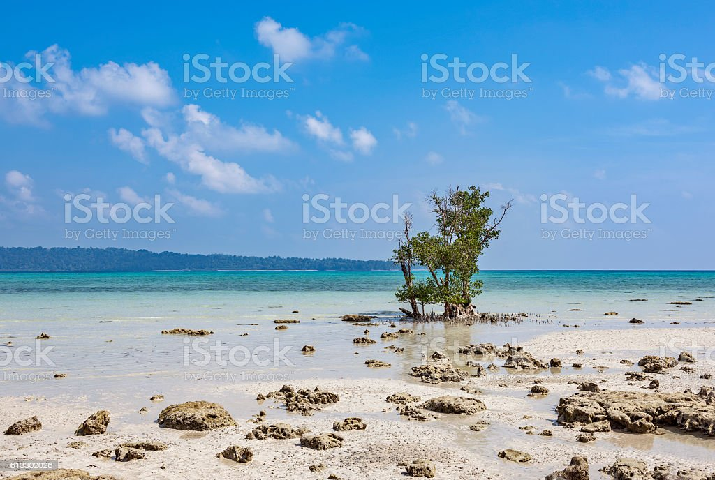 Lone mangrove tree stock photo