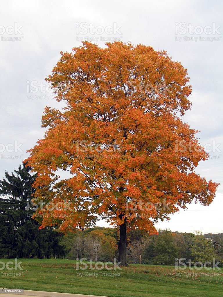 Lone Maple Tree in Grove With Fall Foliage royalty-free stock photo