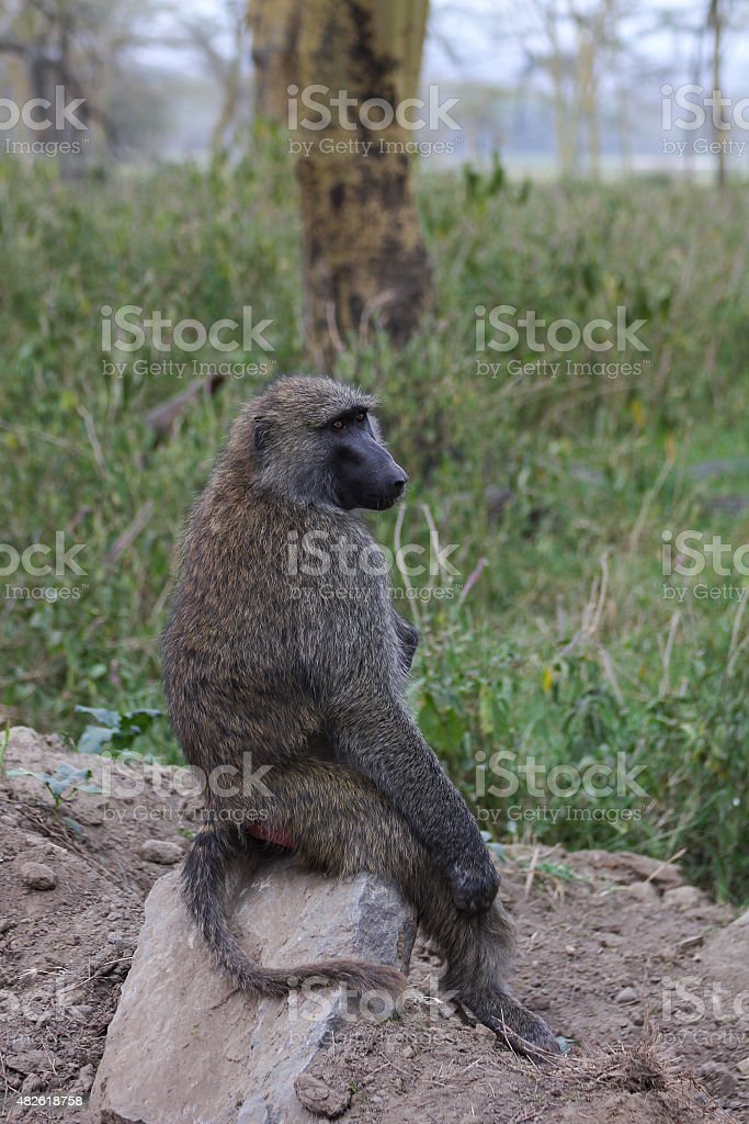 Lone monkey royalty-free stock photo