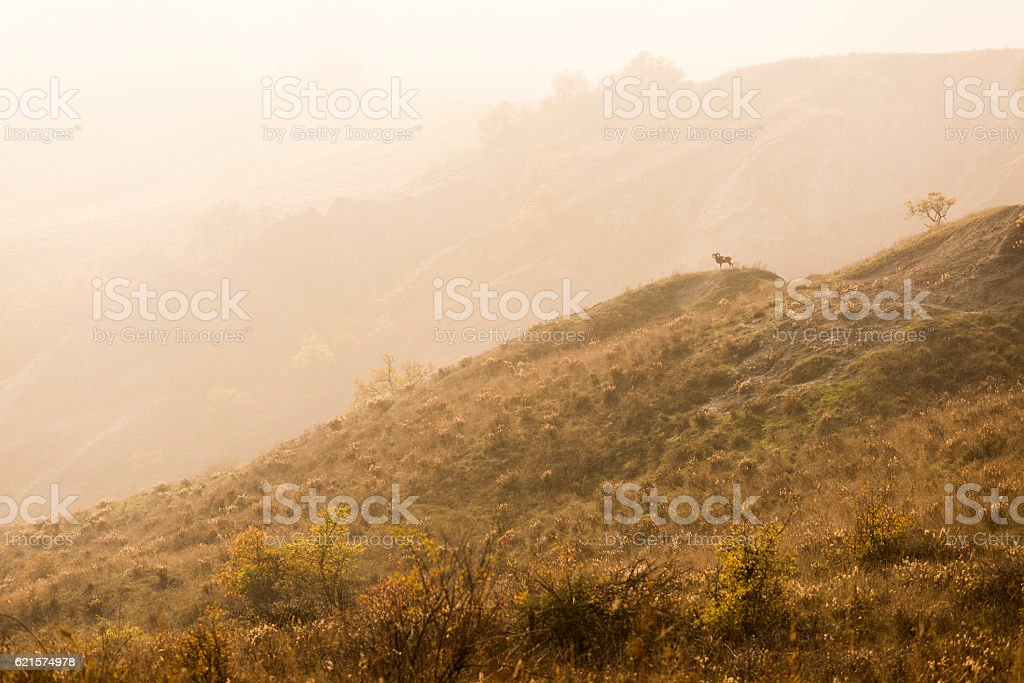 Lone mountain goat ibex in desolate landscape stock photo