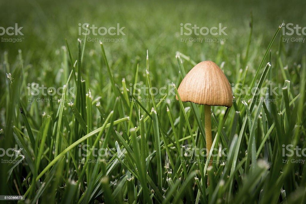 Lone Mushroom royalty-free stock photo