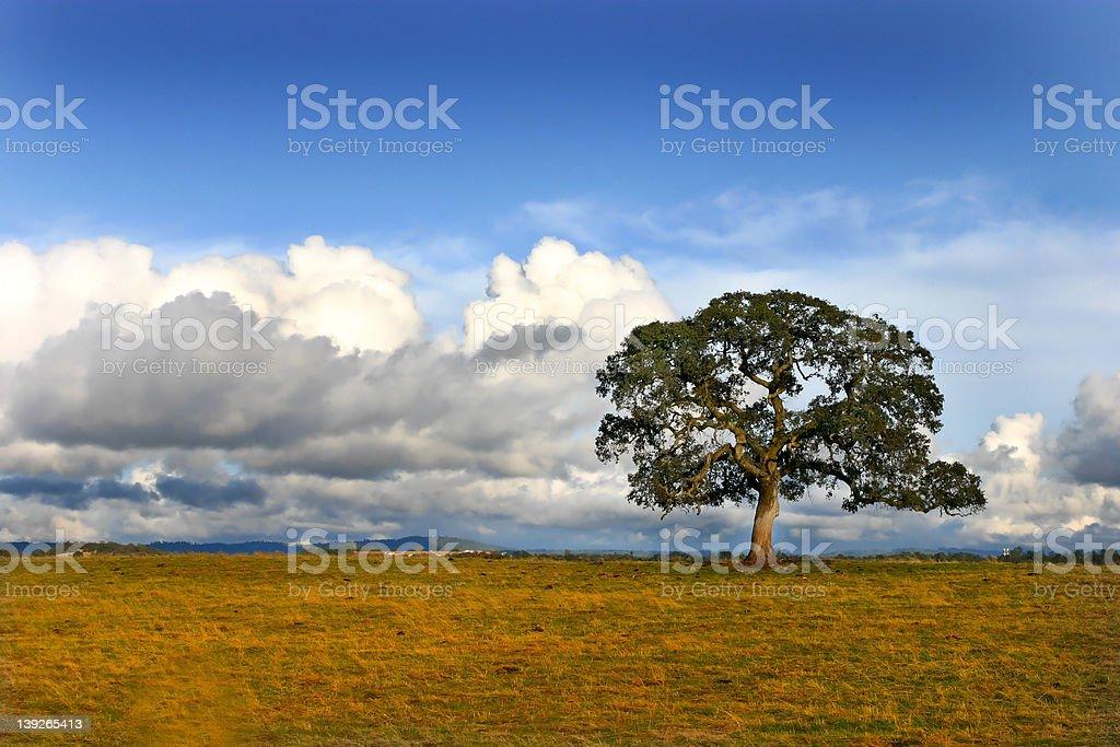 Lone Oak royalty-free stock photo