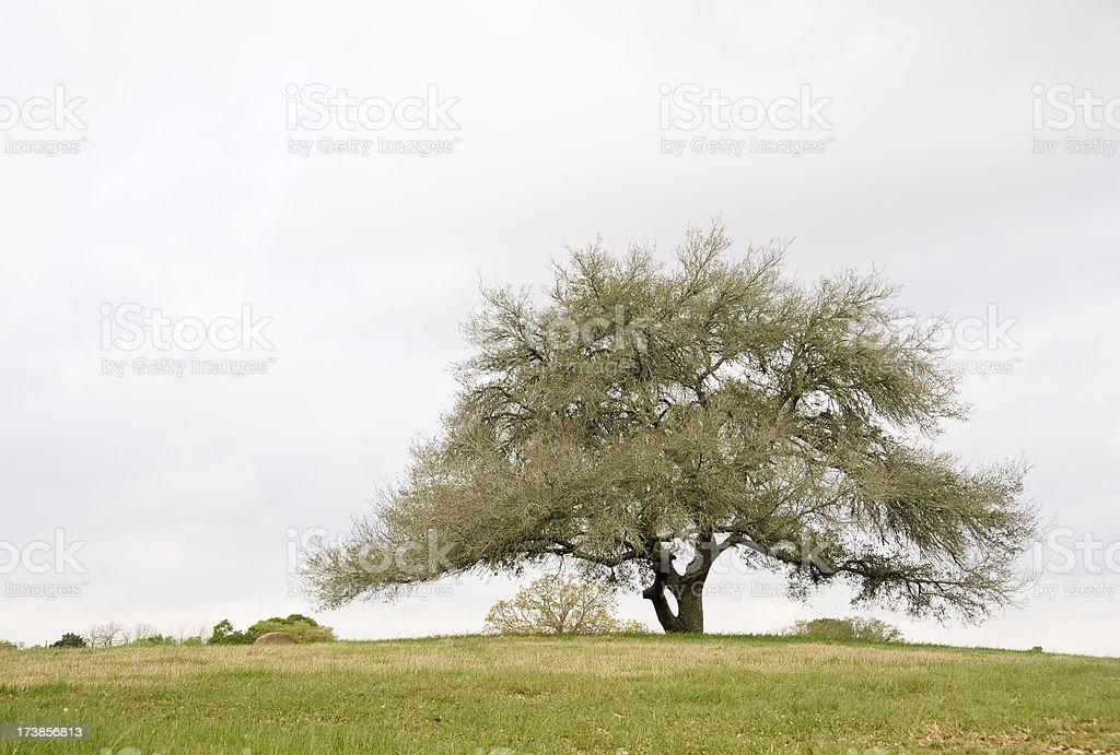 Lone Oak stock photo