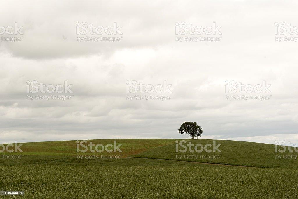 Lone Oak Tree in Field #1 royalty-free stock photo