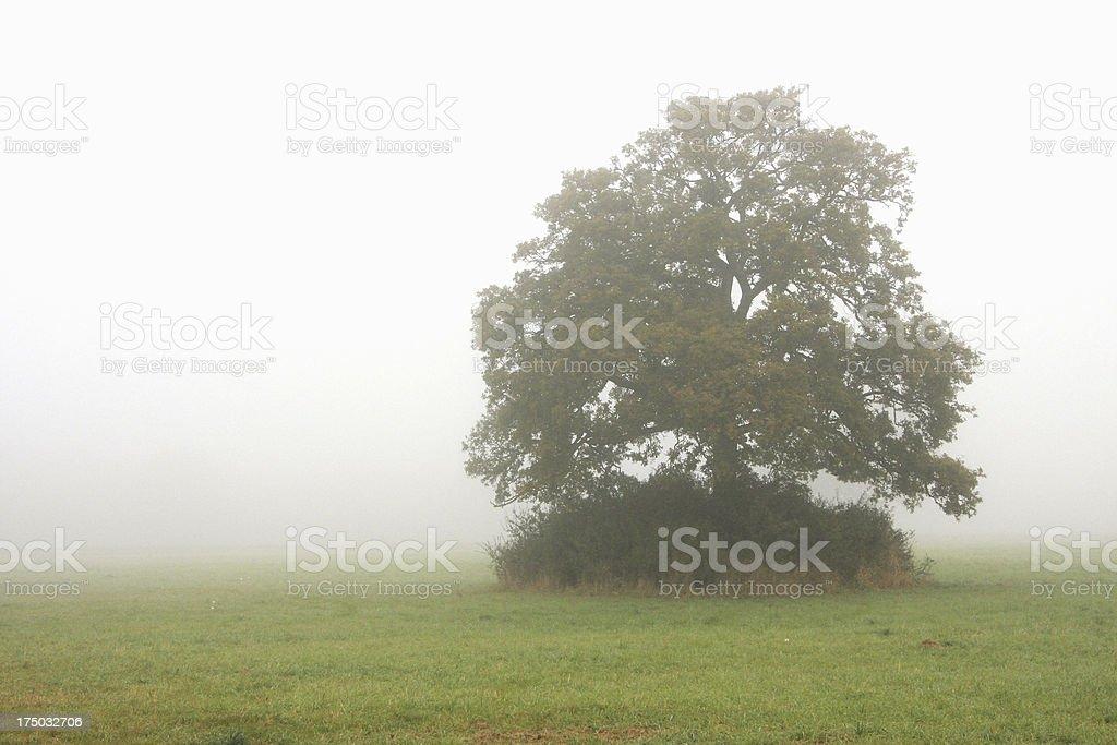 Lone quercia nella nebbia foto stock royalty-free