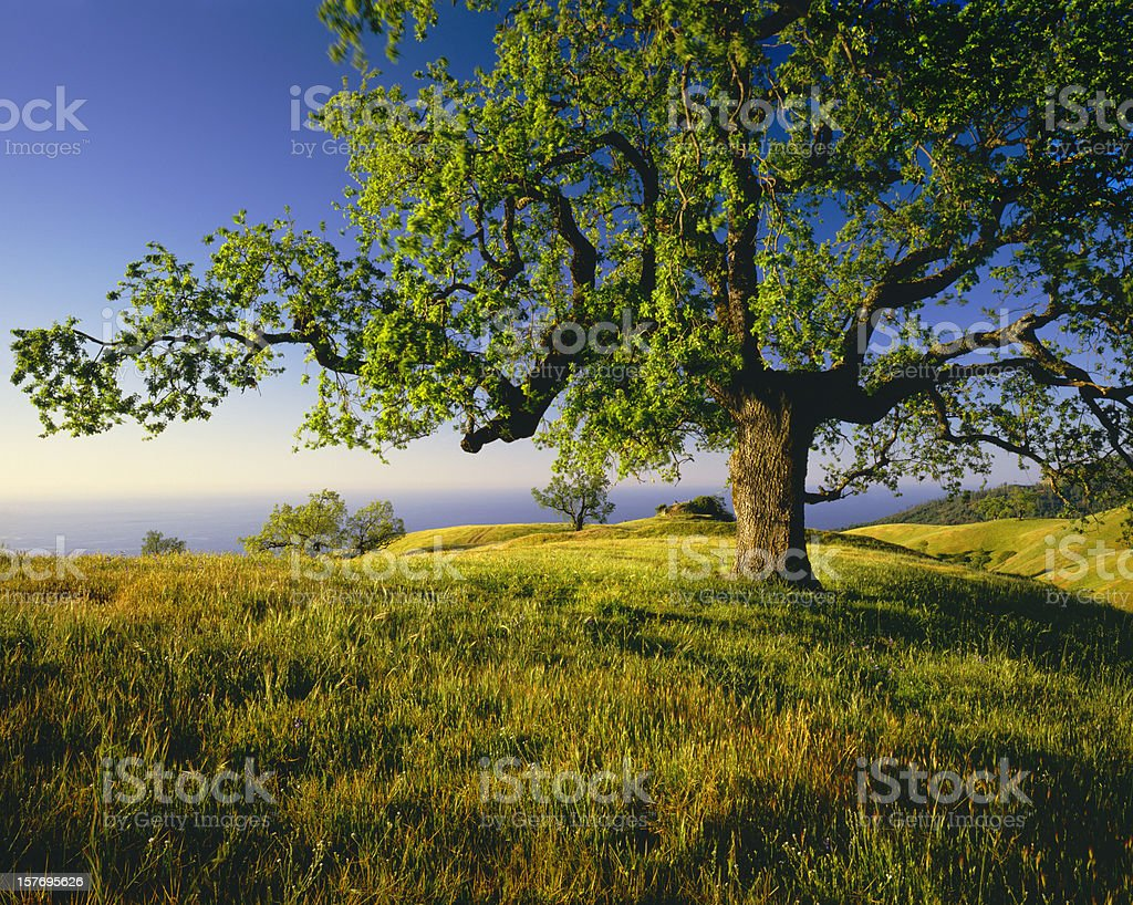 Lone Oak Tree On Hill Top (g) stock photo