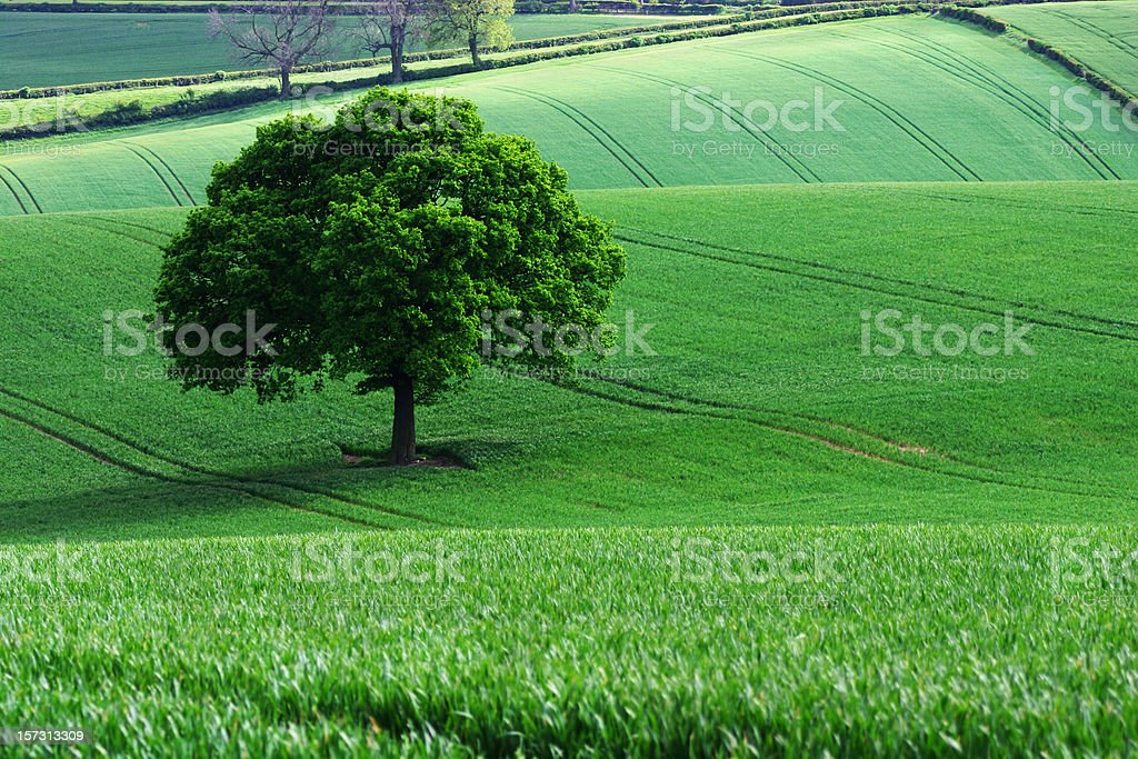 Lone oak tree standing alone stock photo