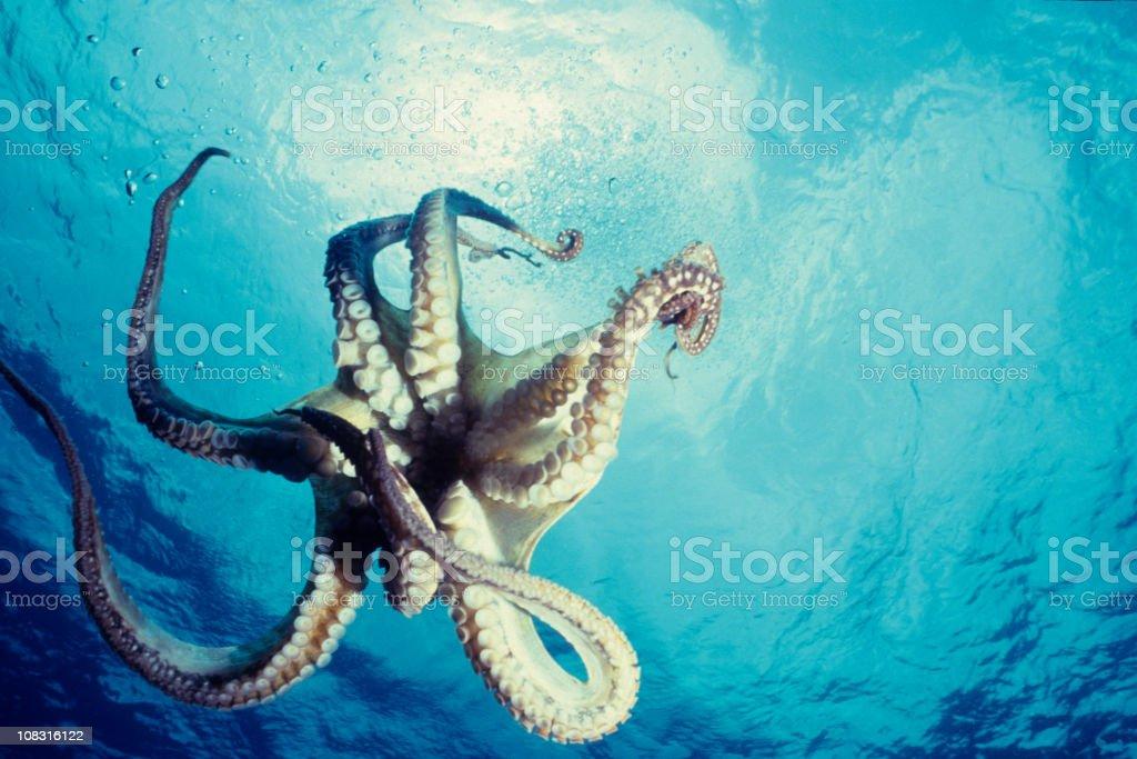 Lone octopus dancing underwater against the blue ocean stock photo
