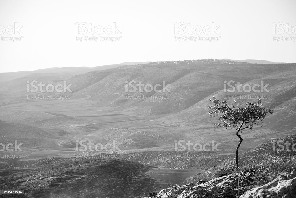 Lone olive tree in the northern West Bank, Palestine stock photo