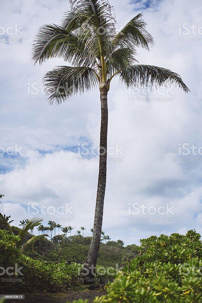 Lone Palm Tree - Wai'anapanapa State Park, Maui, Hawaii stock photo