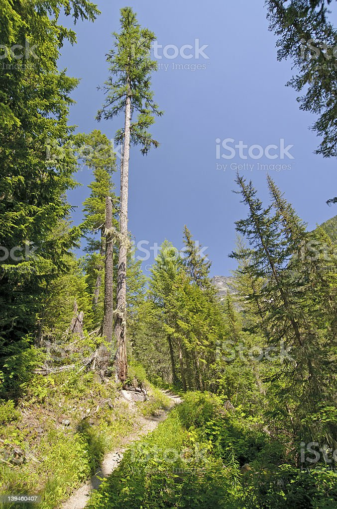 Lone pine on a mountain trail stock photo