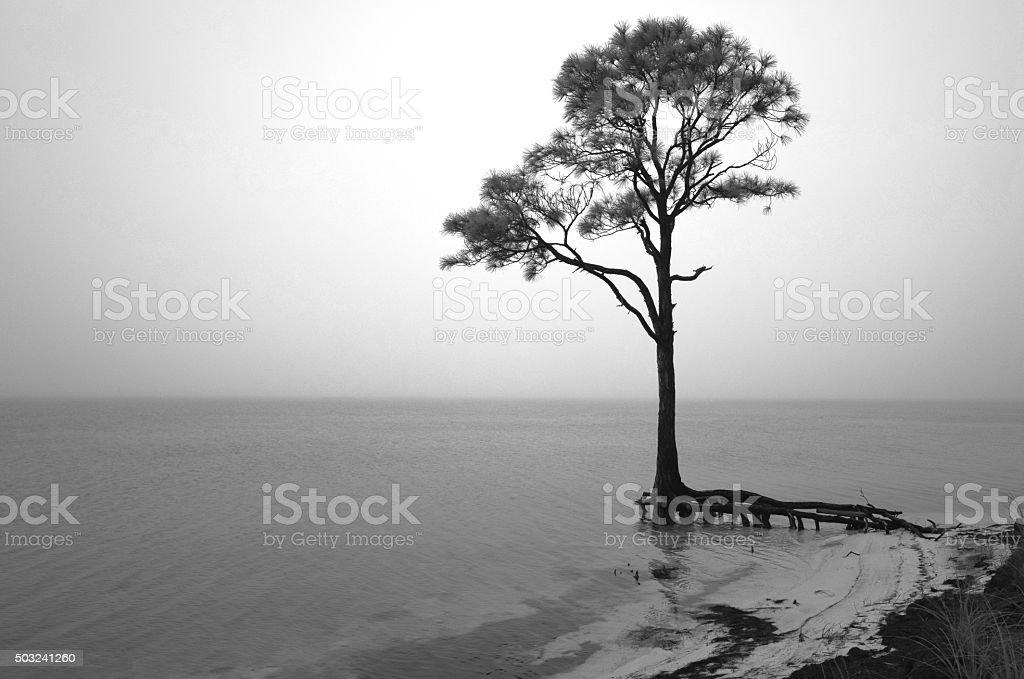 Lone Pine Tree on Misty Coastline stock photo