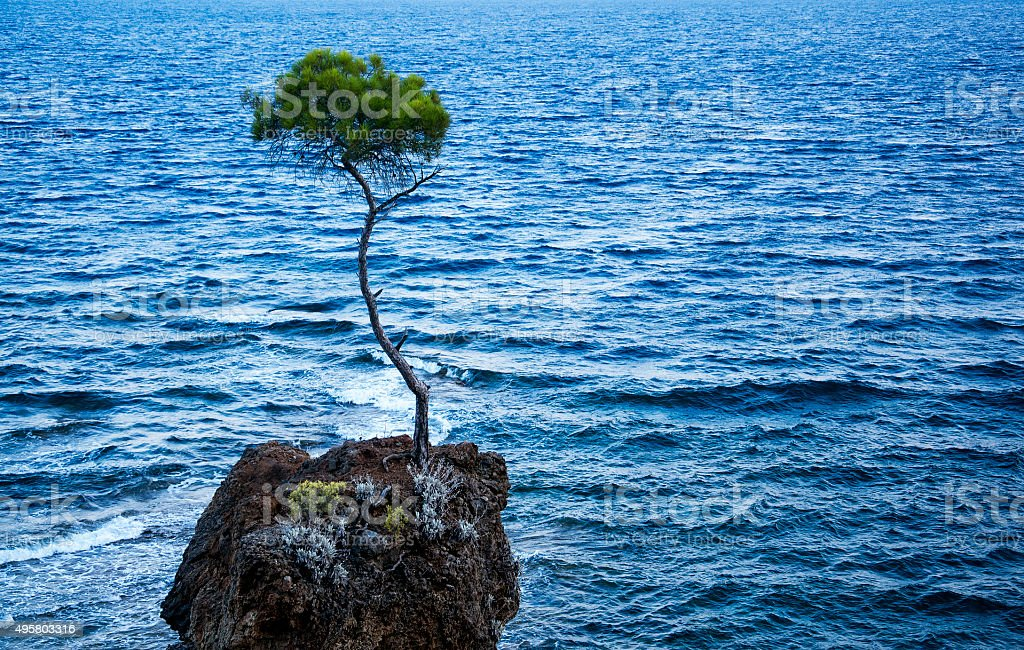 lone pine tree stock photo