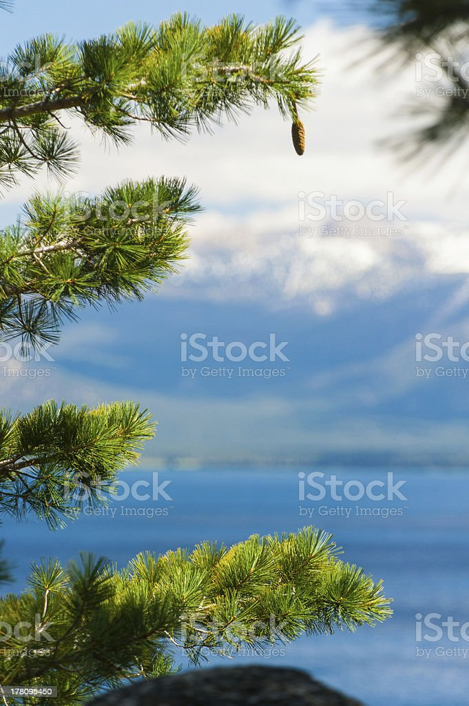 Lone pinecone hangs from branch near Lake Tahoe royalty-free stock photo