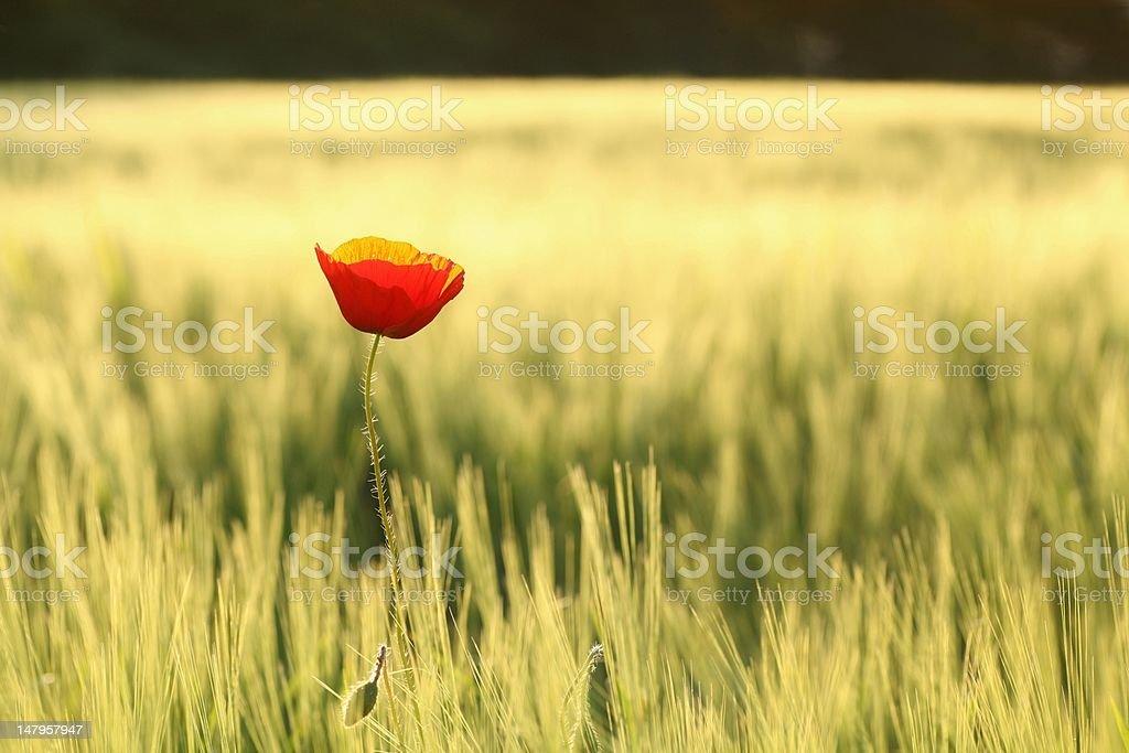 Lone poppy at dusk royalty-free stock photo