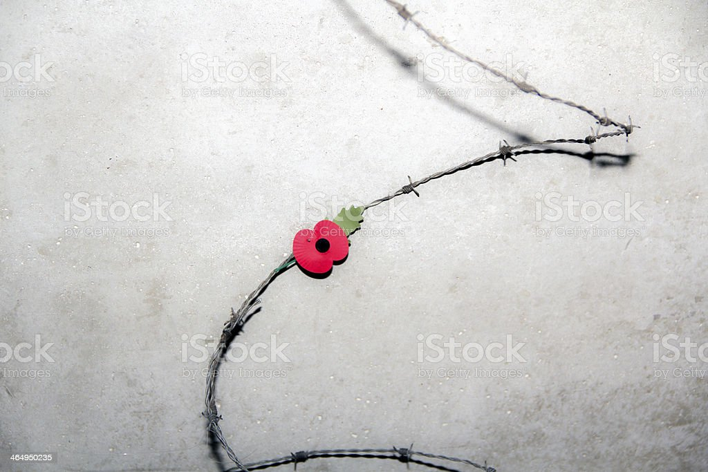 Lone poppy on barbed wire stock photo