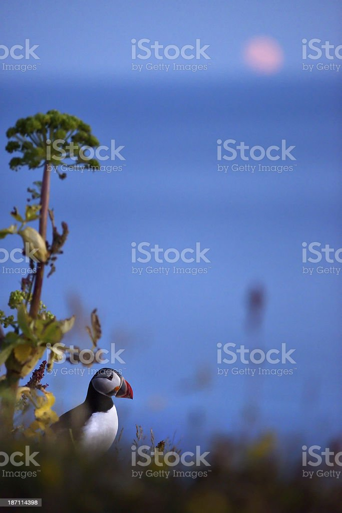 Lone puffin in Iceland royalty-free stock photo