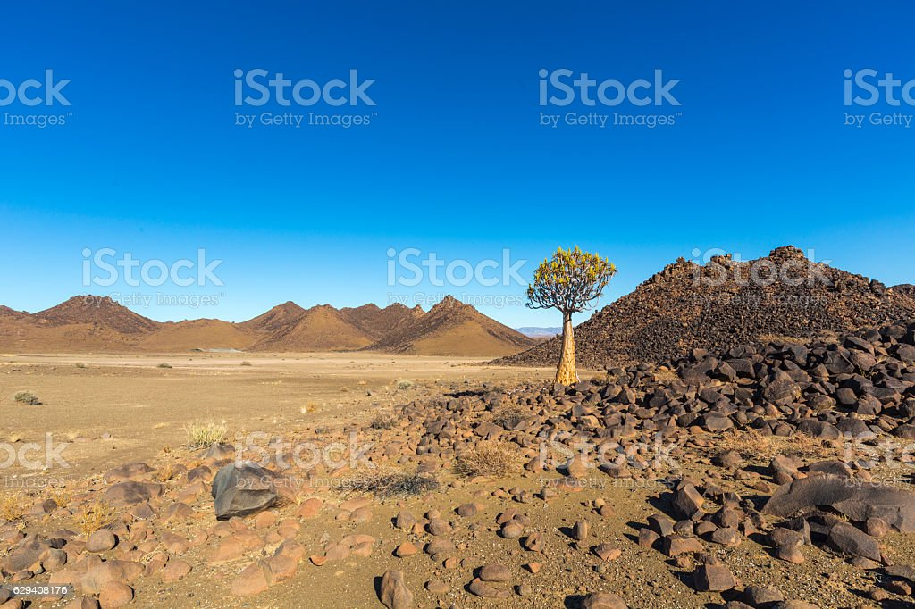 Lone quiver tree stock photo