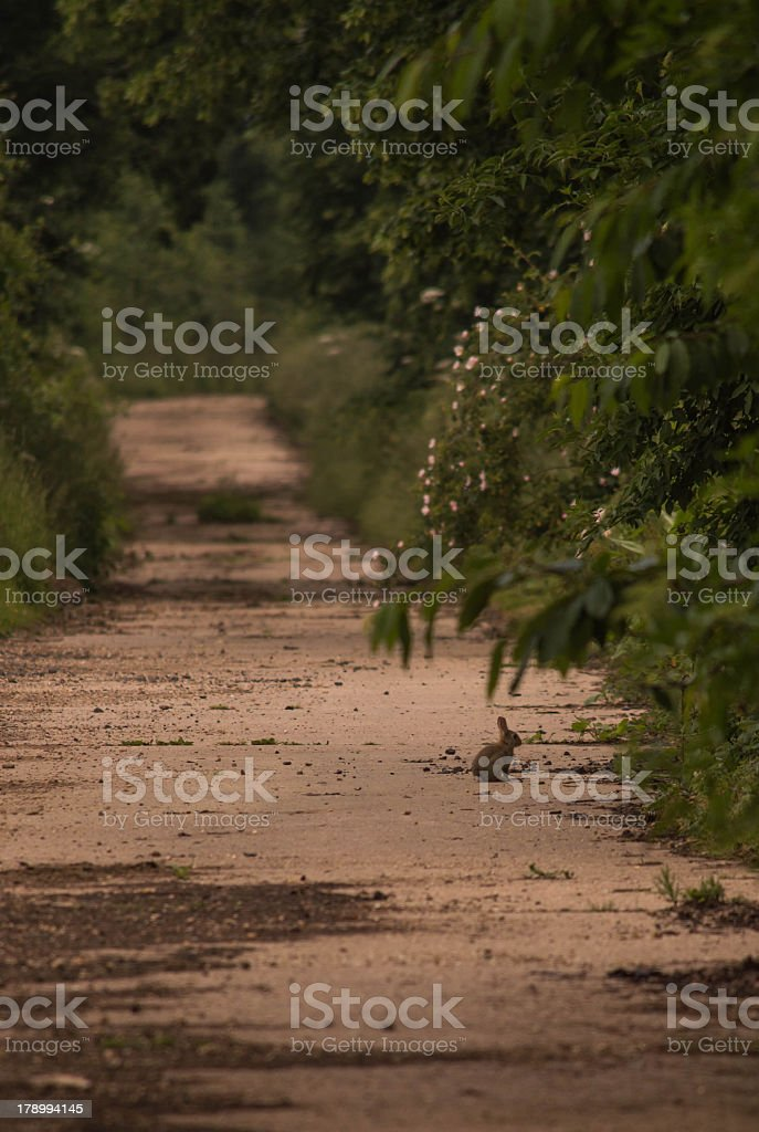 Lone Rabbit in the Evening on a Path royalty-free stock photo