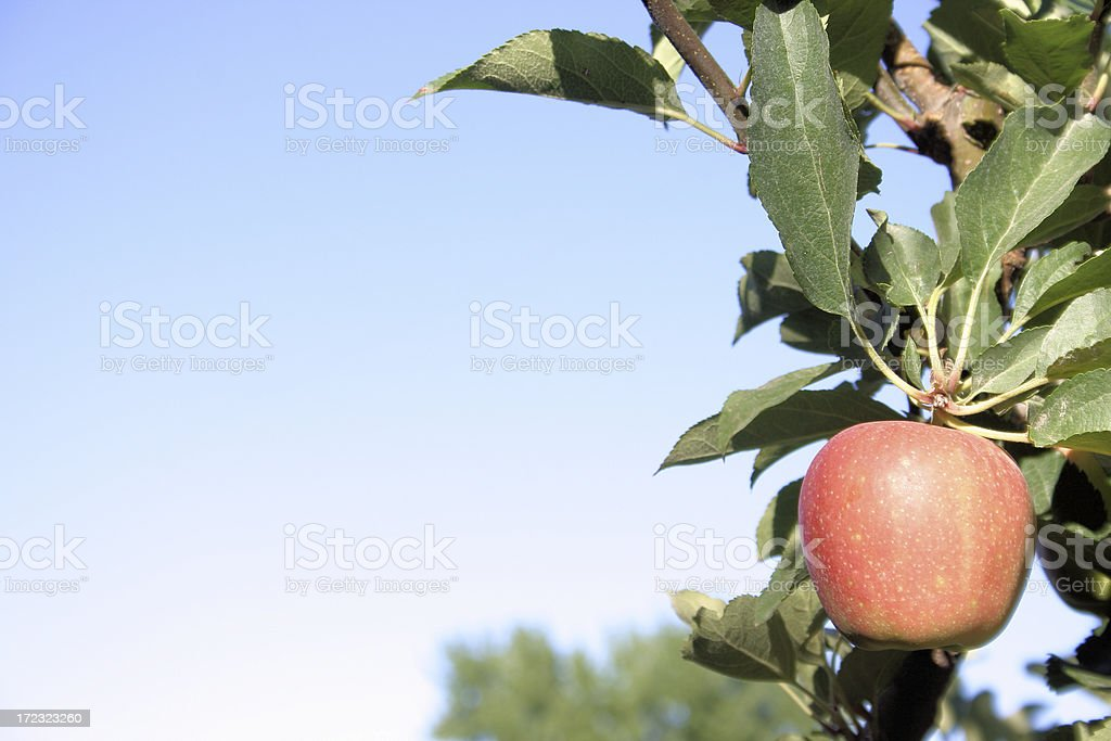 Lone red apple stock photo