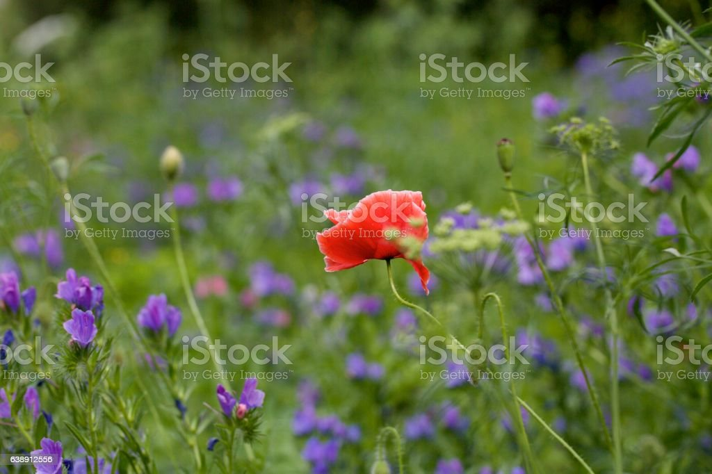 Lone Red Poppy growing in a field stock photo
