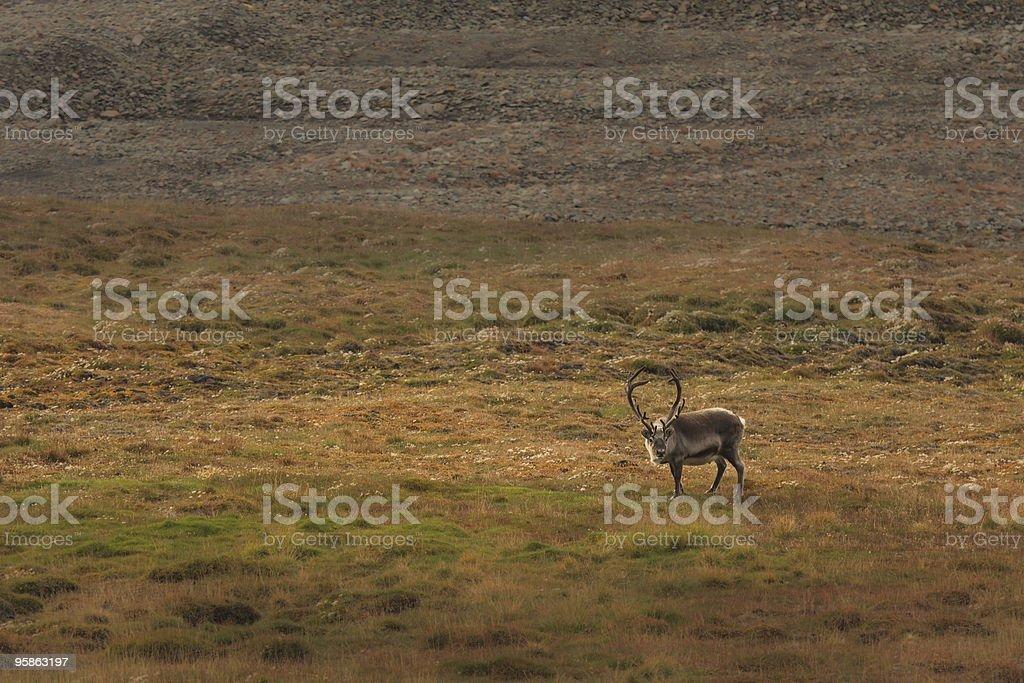 Lone Reindeer in Field stock photo
