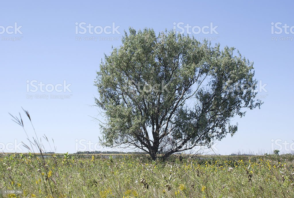 lone russian olive tree stock photo