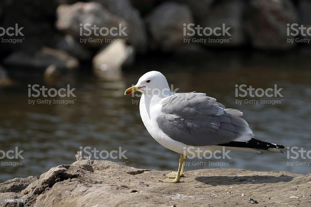 Lone Seagull stock photo