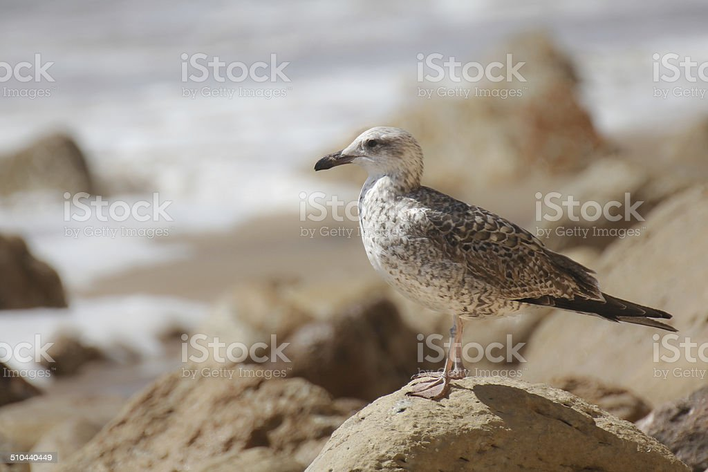 Lone seagull royalty-free stock photo