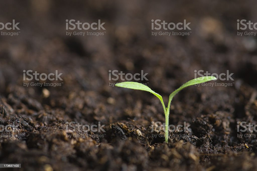 Lone Seedling emerging from soil royalty-free stock photo