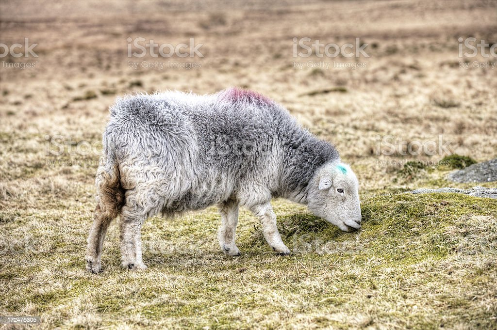 Lone sheep grazing on Cumbrian winter moorland royalty-free stock photo