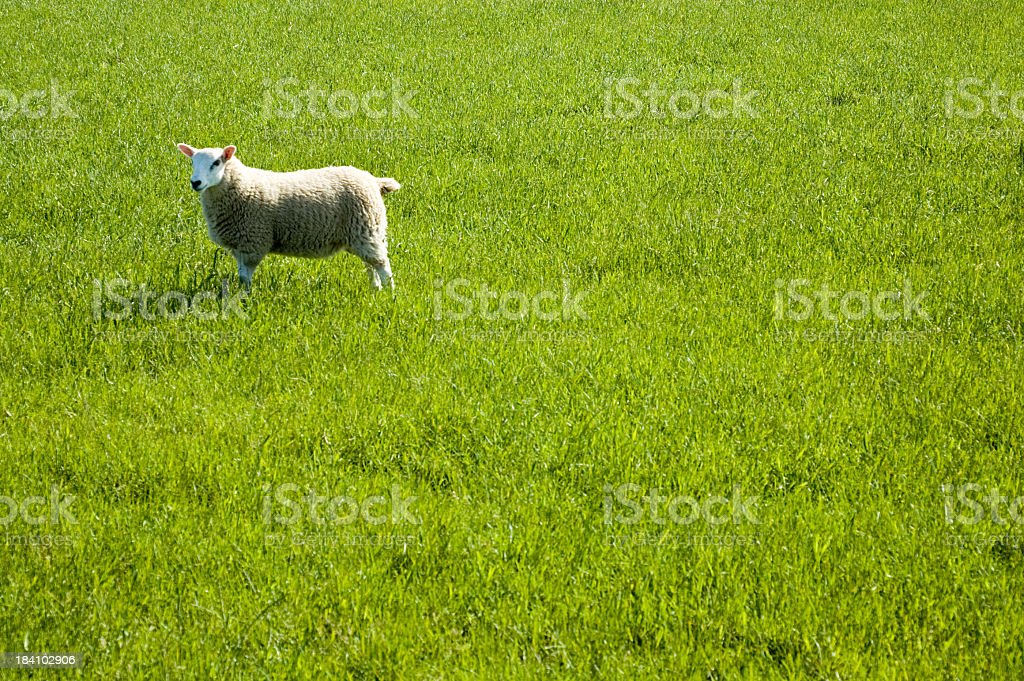 Lone Sheep in Grass royalty-free stock photo