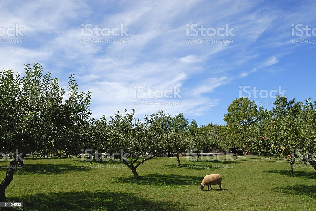 Lone Sheep royalty-free stock photo