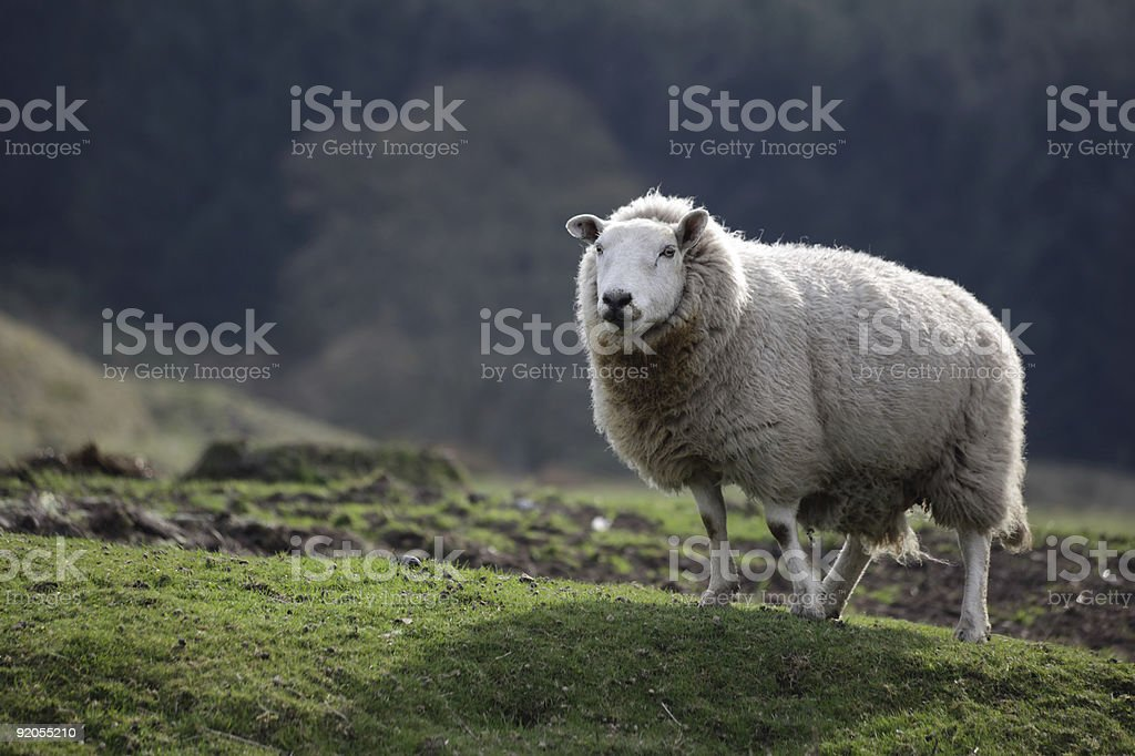 Lone sheep stock photo