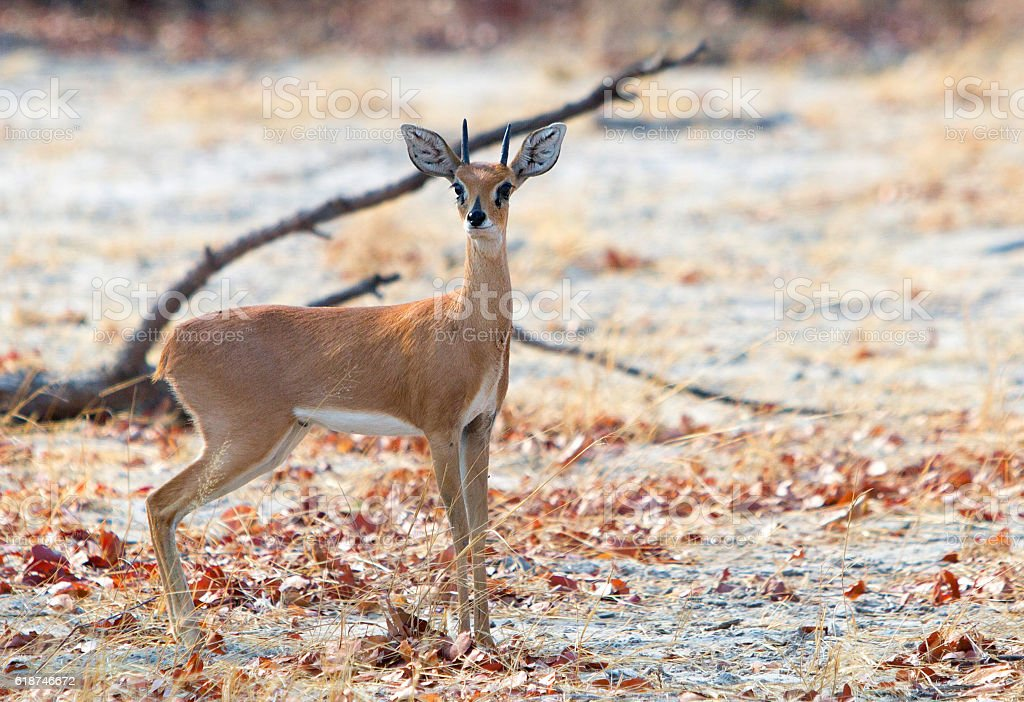 Lone small Steenbok standing in the bush stock photo