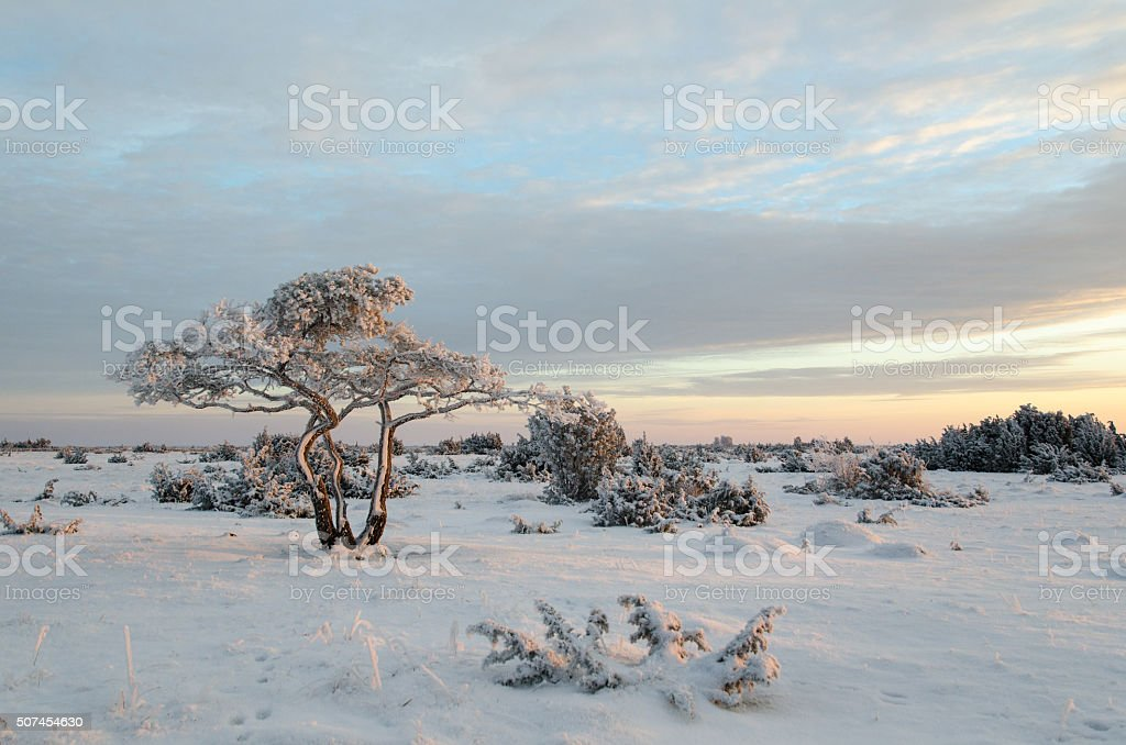 Lone snowy pine tree stock photo