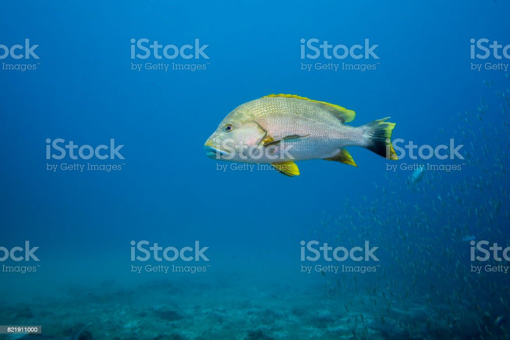 Lone Speckled Snapper stock photo