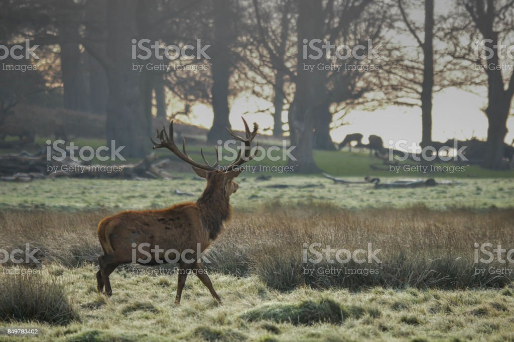 Lone Stag in Richmond Park stock photo