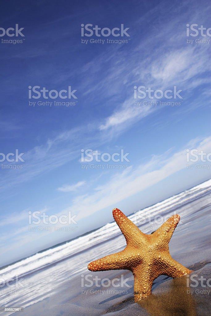 Lone starfish standing up on sandy beach royalty-free stock photo