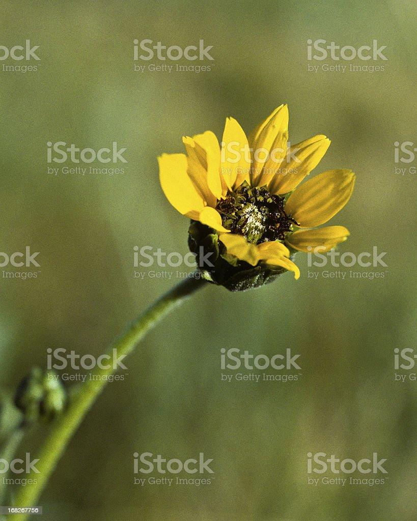 Lone Sunflower royalty-free stock photo