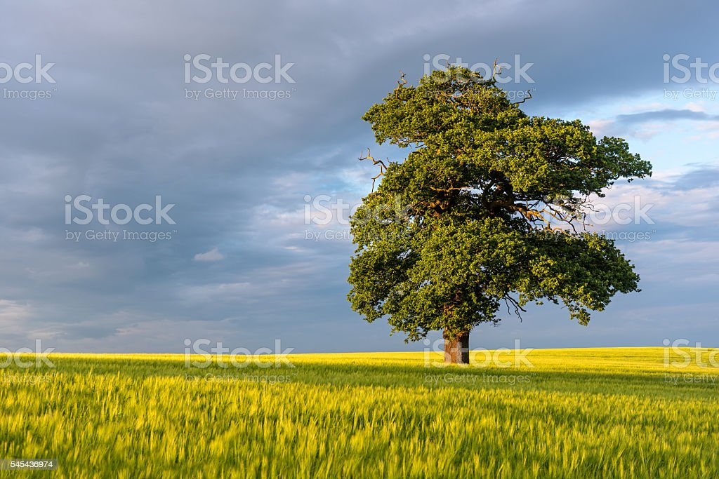 Lone Sycamore Tree in Fresh Summer Field stock photo